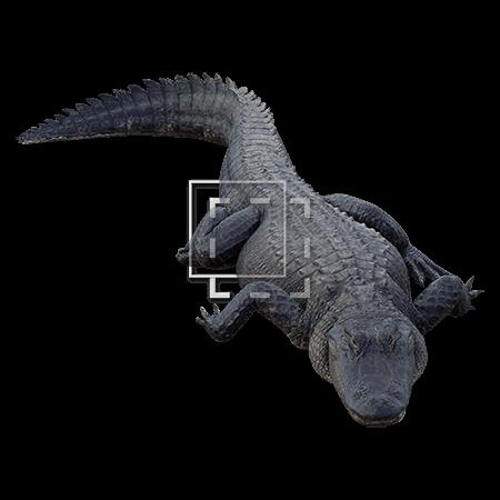 IE-alligator