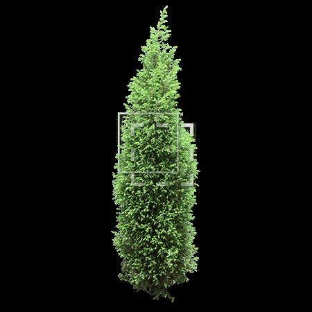 IE-arborvitae-tree