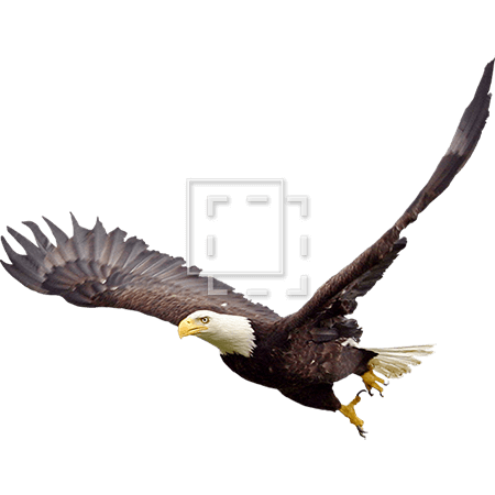 IE-bald-eagle-in-flight