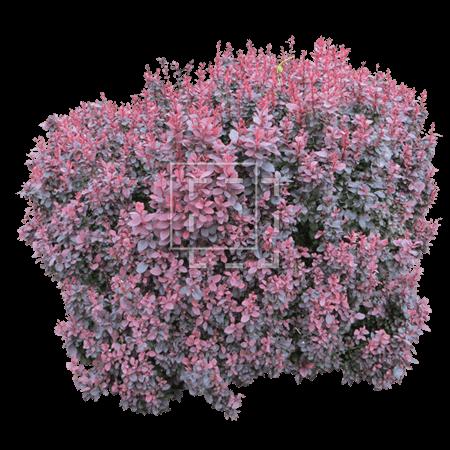 IE-barberry-bush