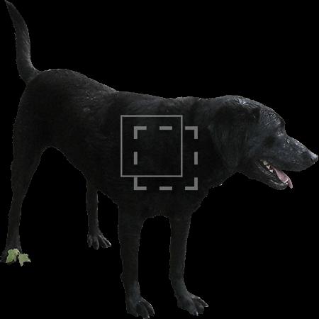 IE-black-lab