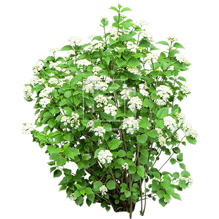 Bush with white flowers for White flowering bush