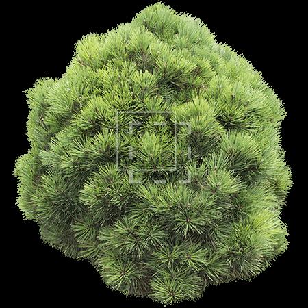 IE-circle-shaped-bush