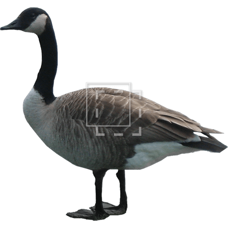 IE-goose