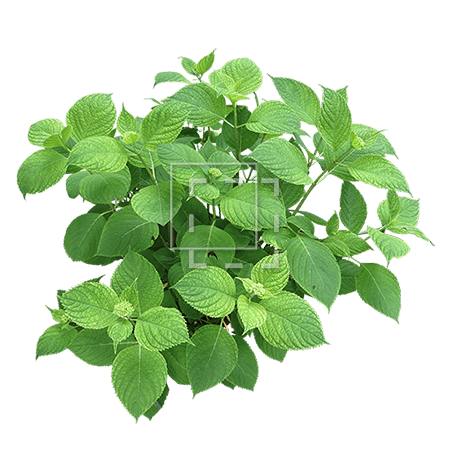 IE-hydrangea-branch