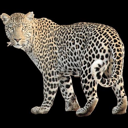 IE-leopard