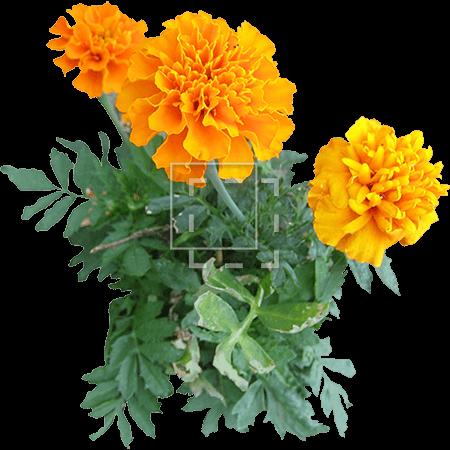 IE-marigold