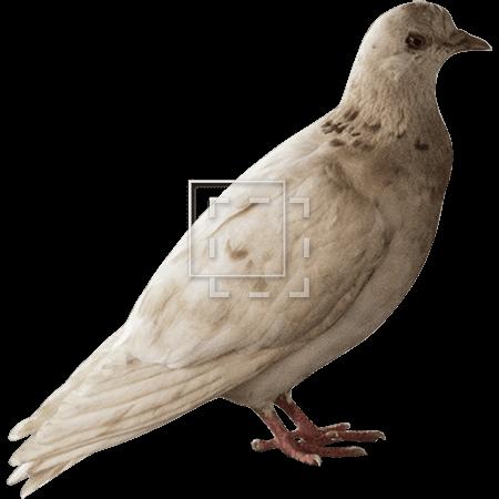 IE-pigeon