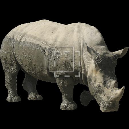IE-rhinoceros