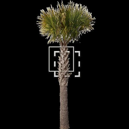 IE-sharp-palm-tree