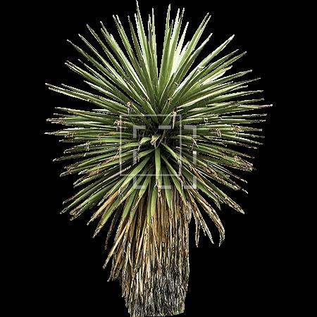 IE-yucca-tree