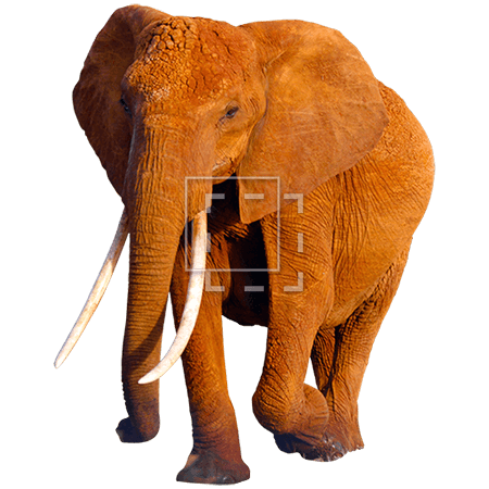 IE-african-elephant