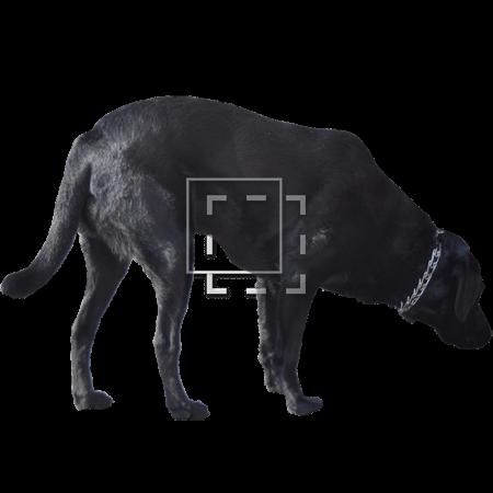 IE-labrador-retriever