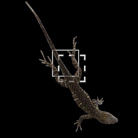 IE-lizard