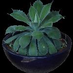 Agave Colorata