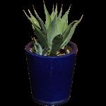 Spiky Agave Plant