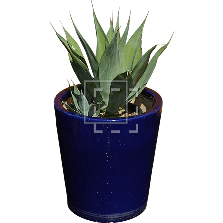 ie-baby-spiky-agave-plant-in-small-blue-pot