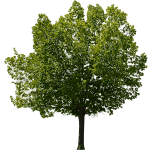 Carpinus Tree