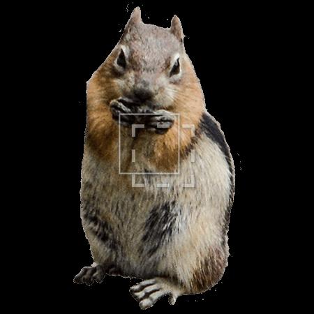 IE-chipmunk-eating