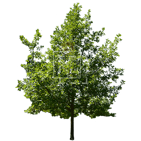 ie-ilex-tree