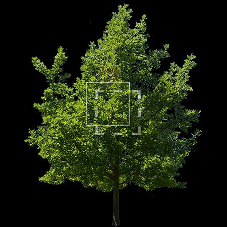 Ilex Tree