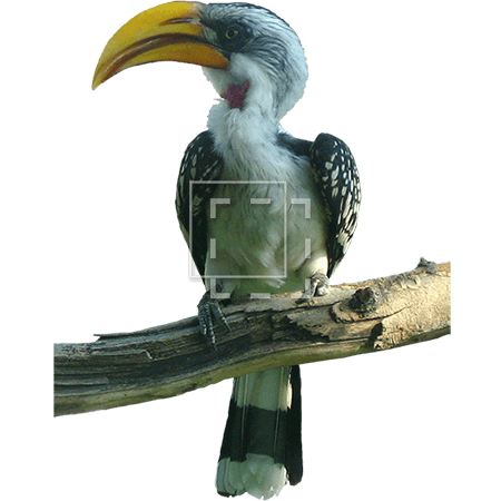 ie-photo-of-a-hornbill-on-perch
