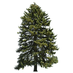 Picea Abies Tree