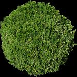 Small Bush Cotoneaster