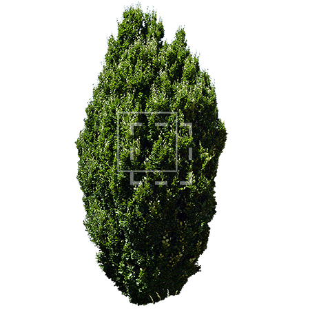 ie-thuja-tree