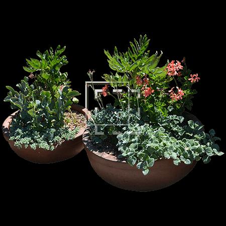 Pots of Alchemilla