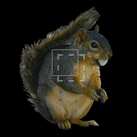 ie-brown-squirrel