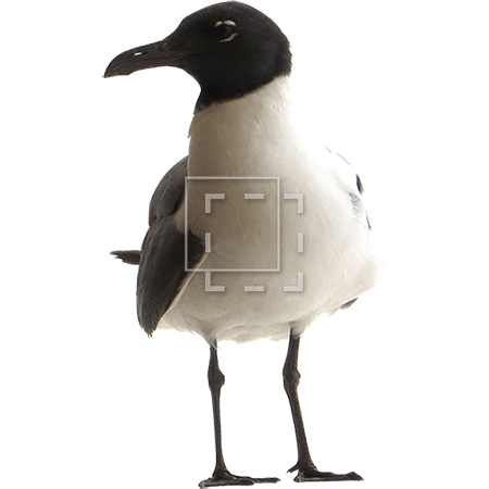 ie-gull