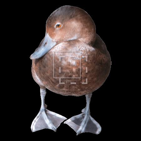 ie-handsome-brown-duck