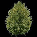 Juglans Regia Tree