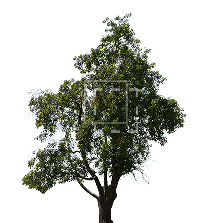 ie-mango-tree
