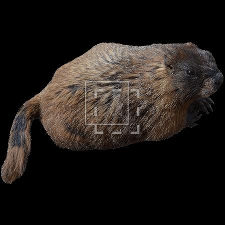 ie-marmot