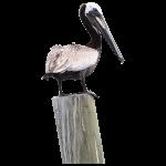 Pelican on PIer