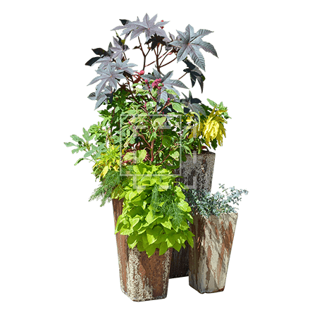 ie-ricinus-and-ipomea-batatas-in-tall-pots