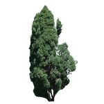 Tall Green Juniper