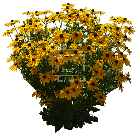 ie-yellow-rudbeckia-hirta-flowers