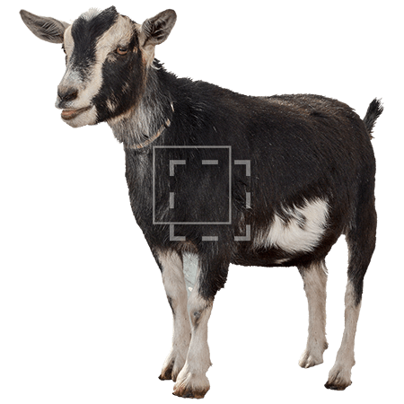 ie-black-goat