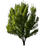 ie-green-deciduous-tree-one