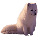 ie-arctic-fox