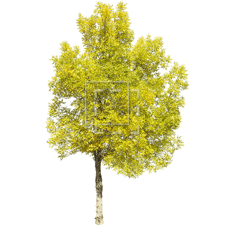 ie-green-yellow-tree